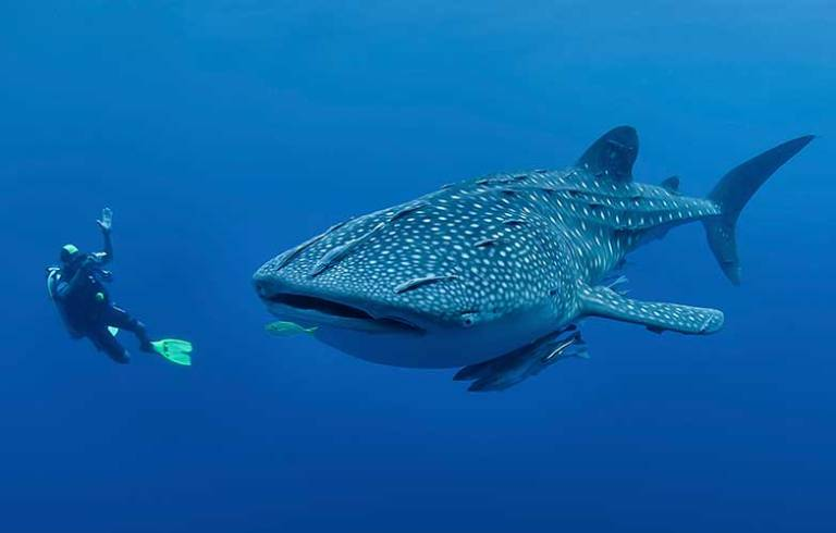 diving-with-whale-shark-philippines